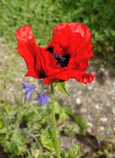 Mohn am Bodensee